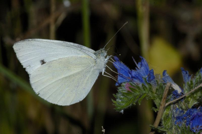 Farfalle 0019