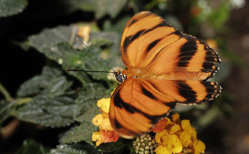 Farfalle 0029