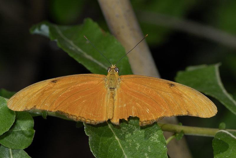 Farfalle 0040