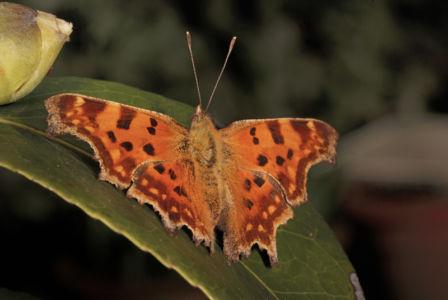 Farfalle 0037