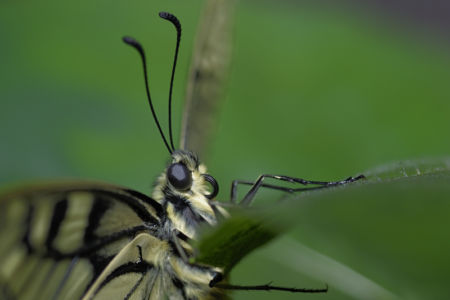 Farfalle 0043